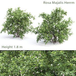 Rosa Majalis Herrm #1