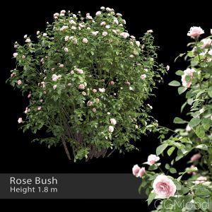 Rose Bush #3