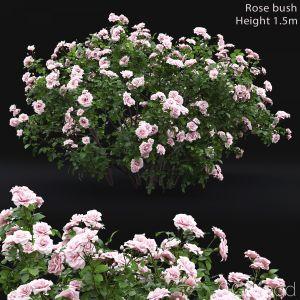 Rose Bush #4