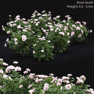 Rose Bush #5