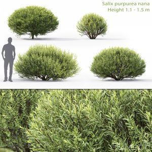 Salix Purpurea Nana #1
