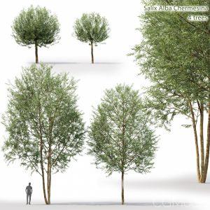 Salix Alba Chermesina #1