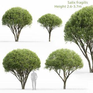 Salix Fragilis #1 (2.6-3.7m)