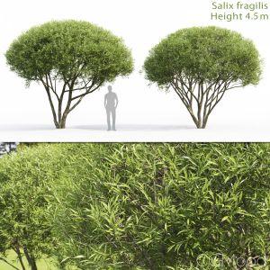 Salix Fragilis #2 (4.3-4-5m)
