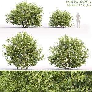 Salix Myrsinifolia #1 (2.3-4.5m)