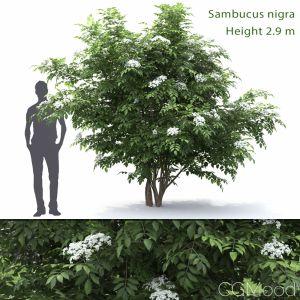 Sambucus Nigra #1