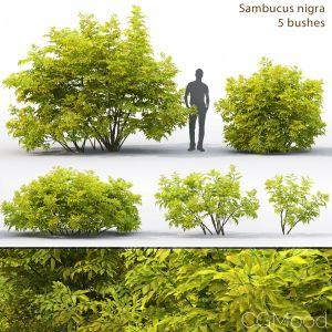 Sambucus Nigra # 2
