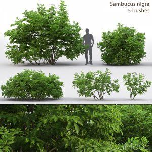 Sambucus Nigra # 3
