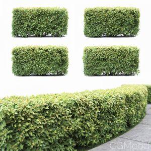 Spiraea Japonica Hedge