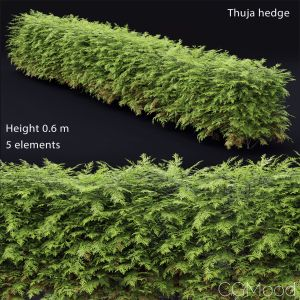 Thuja Hedge #1(0.6m)
