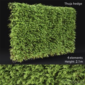 Thuja Hedge #3(2.1m)