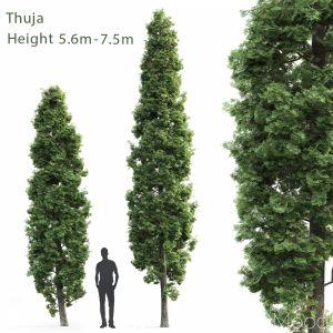 Thuja High #1(5.6m-7.5m)
