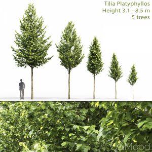 Tilia Platyphyllos #1 (3.1-8.5m)