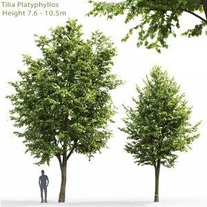 Tilia Platyphyllos #3 (7.6-10.5m)