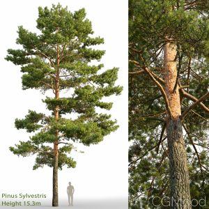 Pinus Sylvestris (15.3m)