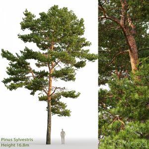 Pinus Sylvestris (16.8m)
