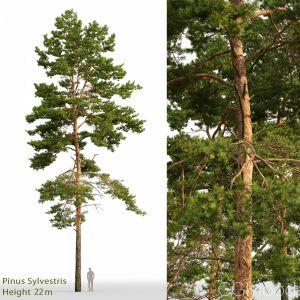 Pinus Sylvestris(22m)