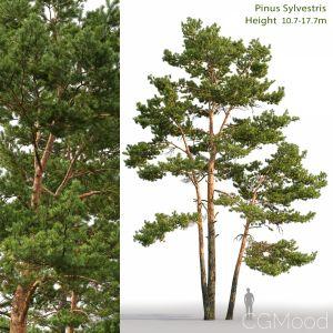 Pinus Sylvestris(10.7-17.7m)