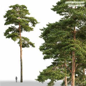 Pinus Sylvestris (24.3m)