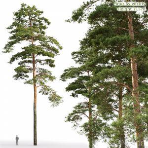 Pinus Sylvestris(25.5m)
