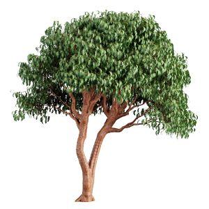 Tree 55 C