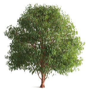 Tree 55 D
