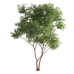 Tree 55 G