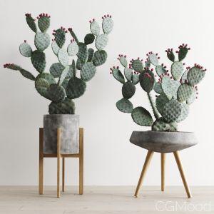 Opuntia In Concrete Planters. Cactus Set