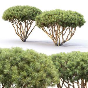 Pinus Mugo #8 (1.7-2m)