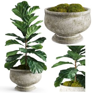 Weathered Stone Tulip Pedestal Bowl - Ficus Lyrata