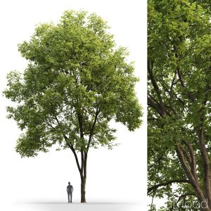 Ash-tree #3(17m)