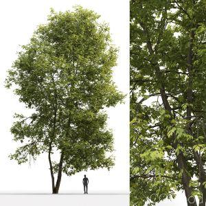 Ash-tree #4(18m)