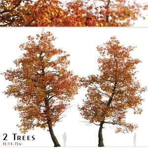 Set Of Acer Buergerianum Trees (trident Maple)