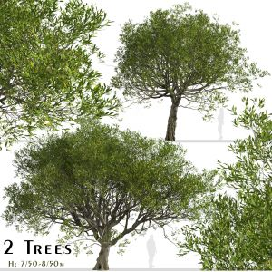 Set of Acacia melanoxylon Trees (Blackwood)