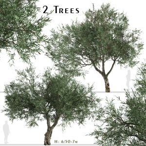 Set of Olive Tree (Olea europaea) (2 Trees)