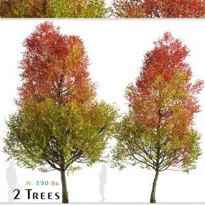 Set of Freeman Maple Trees (Acer freemanii)