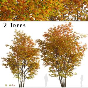 Set of Silver maple Tree (Creek maple) (2 Trees)
