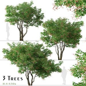 Set of Acer tataricum Trees (Tatarian maple)