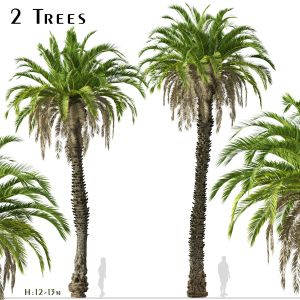 Set Of Canary Island Date Palm Phoenix Canariensis