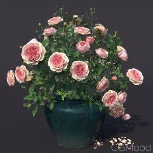 Rose Bush In The Pot #1