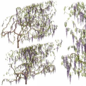 Wisteria For Walls