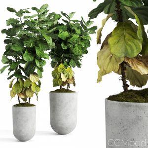 Ficus Lyrata In Concrete Pots