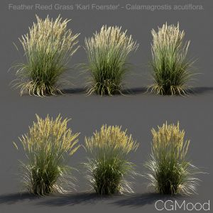 Feather Reed Grass - Low