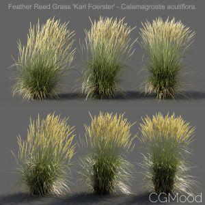 Feather Reed Grass - Medium