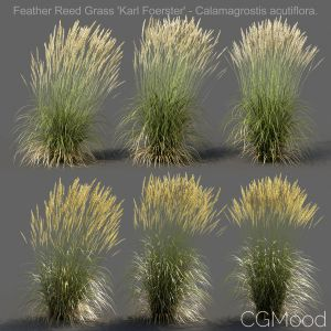 Feather Reed Grass - High