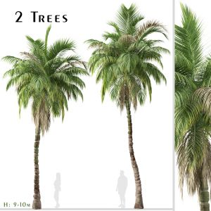 Set of Kentia palm Tree (Howea forsteriana)-2 Tree