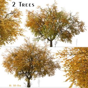 Set of Hangzhou elm Tree (Ulmus changii) (2 Trees)