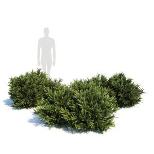 Picea Orientalis Dwarf