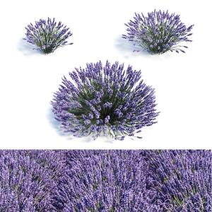 Lavandula (lavender) Set