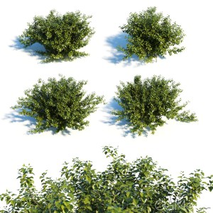 Alnus Viridis Set Of 4